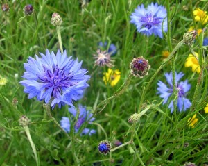 Irish Cornflower