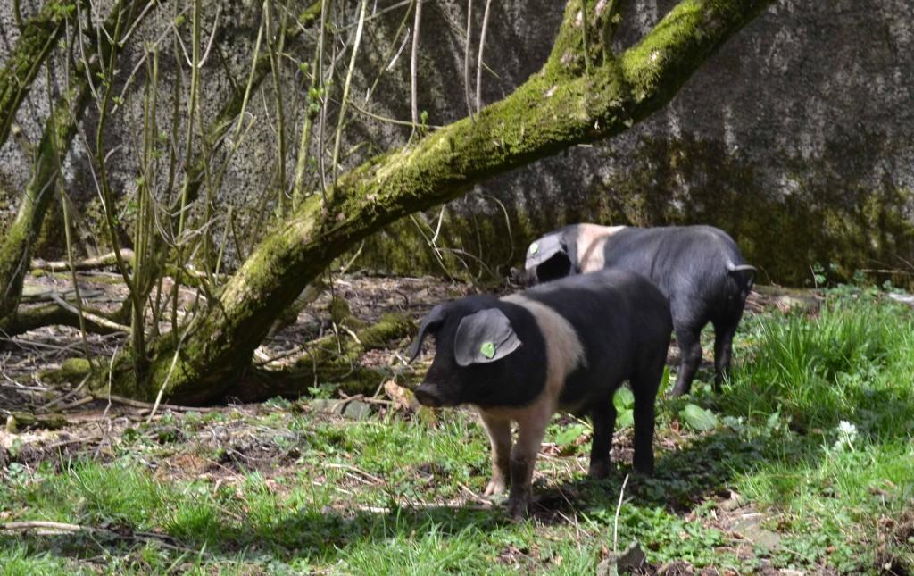Saddleback Pigs Arrive