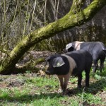 Saddleback Pigs Arrive