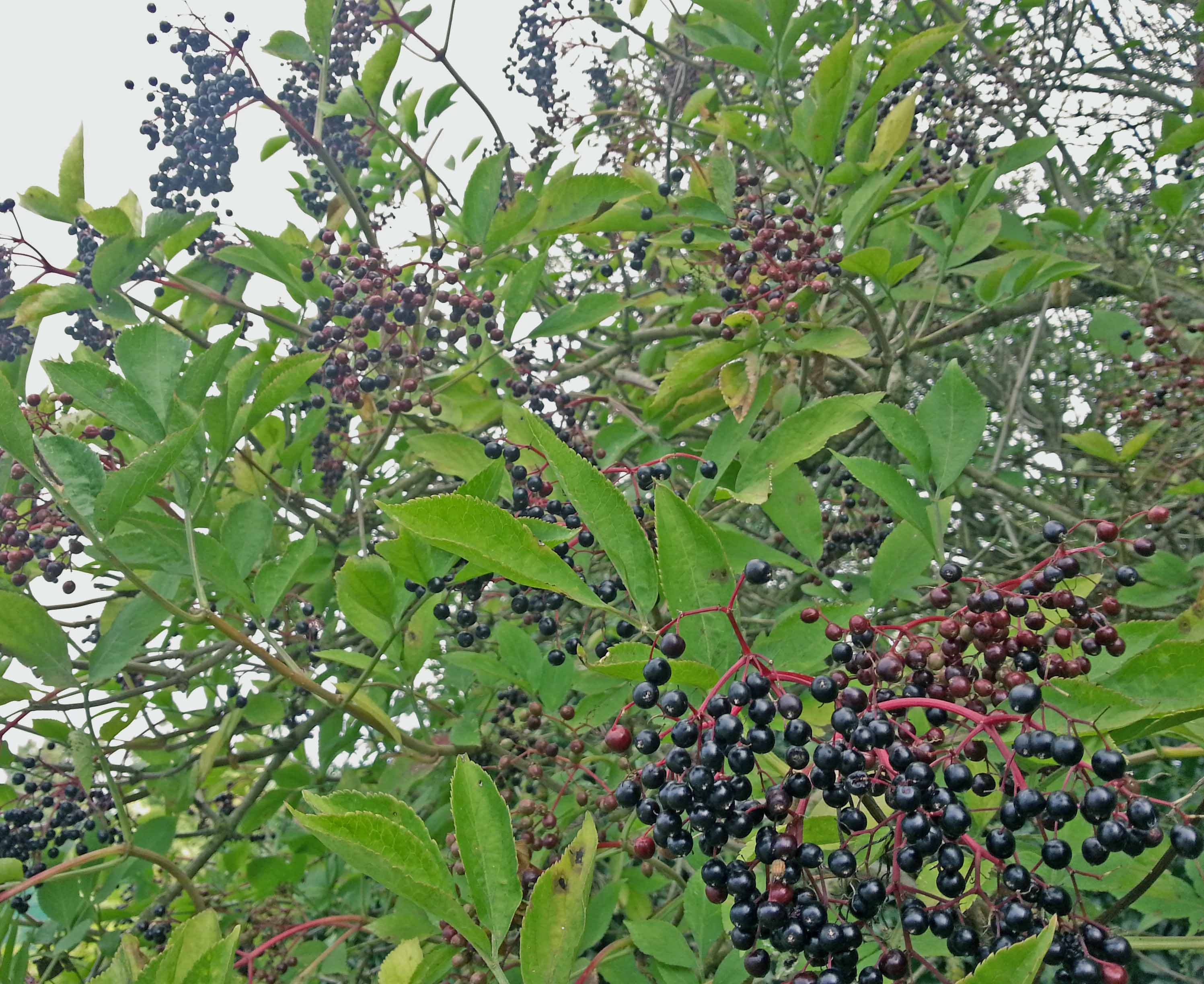 A winter 39 s tonic elderberry syrup recipegreenside up - Fir tree syrup recipe and benefits ...