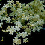 Elderflower Cordial Recipe – Revised