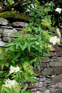 elderflowers on the stone wall