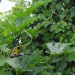 Grow Something Different in the Vegetable Garden