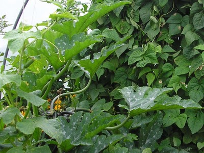 Beans, Corn and Squash - Known as Three Sisters Companion Planting
