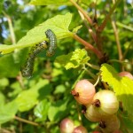 Watch Your Bush! Gooseberry Sawflies may devastate it.