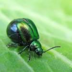 Wednesday Wiggler ~~ Green Dock (or Sorrel) Beetles (Gastrophysa viridula)
