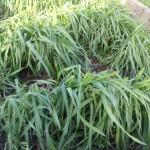 green manure rye