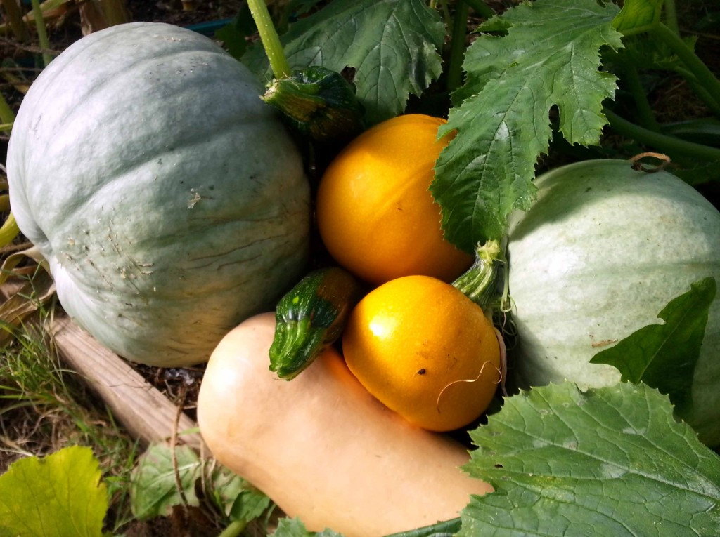grow your own squash