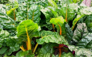 grow your own swiss chard