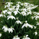 Guest Post: Fabulous! 5 Easy Winter Flower Bulbs by Susan Flowers