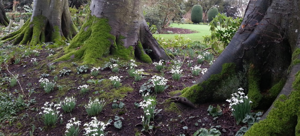 snowdrops at altamont