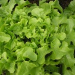 Lettuce… how many should I plant?