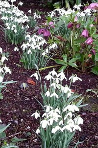 Love in the snowdrops ~ Carlow Snowdrop Festival