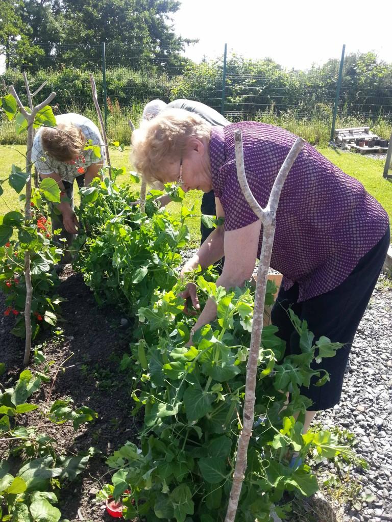 Harvesting peas in Callan