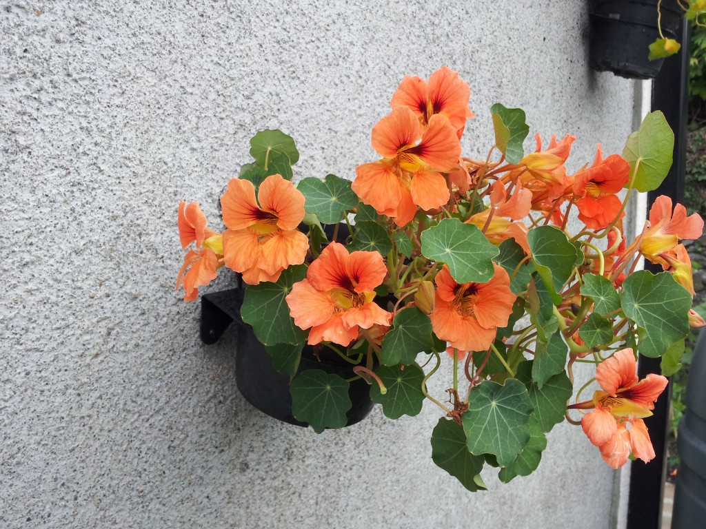 nasturtiums in Breezy Garden pot holders