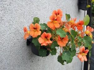 nasturtiums in Breezy Garden pot holders