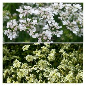 Parsley flowers top, hedgrow cow parsley bottom. Members of Apiaceae familey