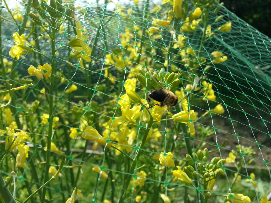 Hoverfly on Kale Flowers
