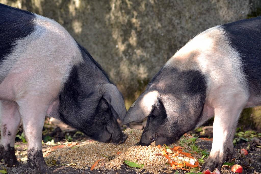 pigseating