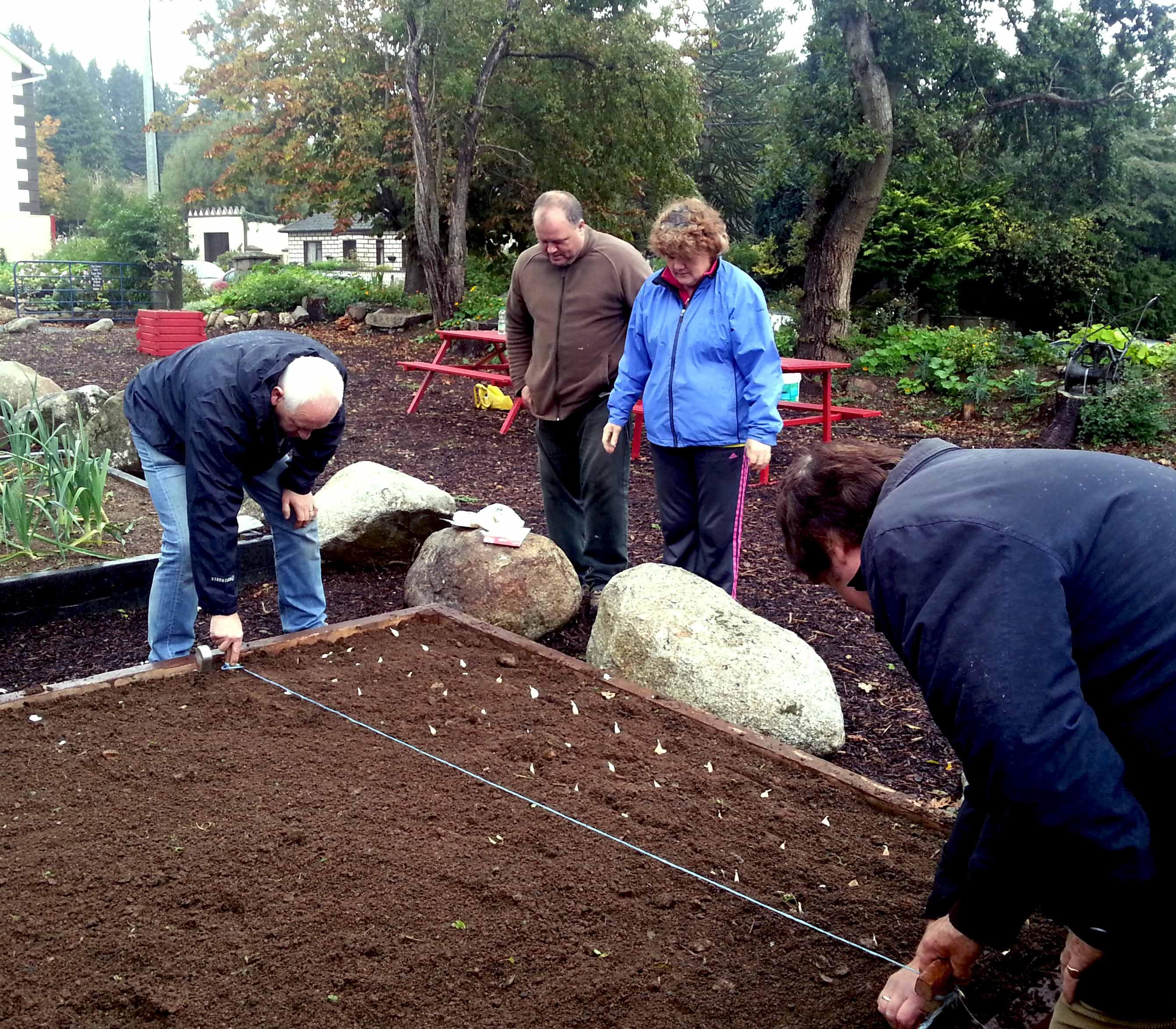 planting garlic cloves in Clonegal