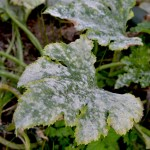 How to Treat Powdery Mildew Without Chemicals