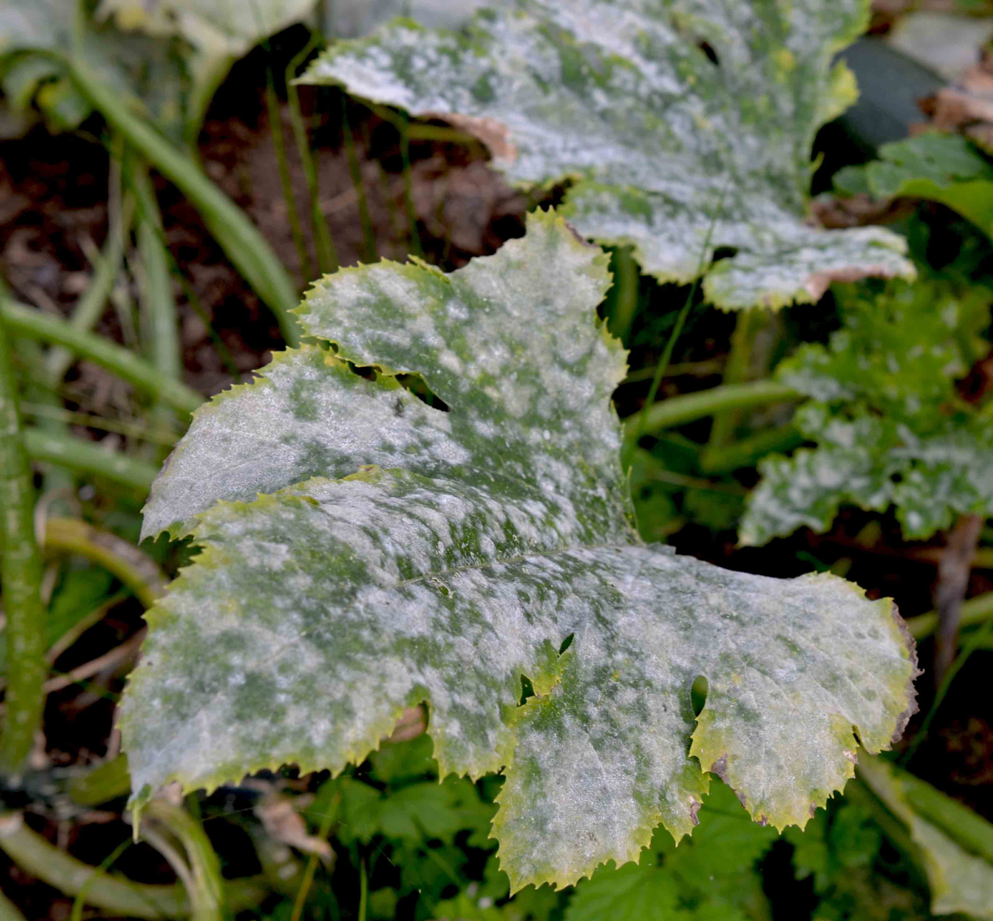 How To Treat Powdery Mildew Without ChemicalsGreenside Up
