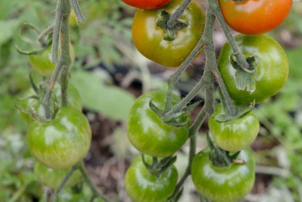 5 Ideas for Green Tomatoes