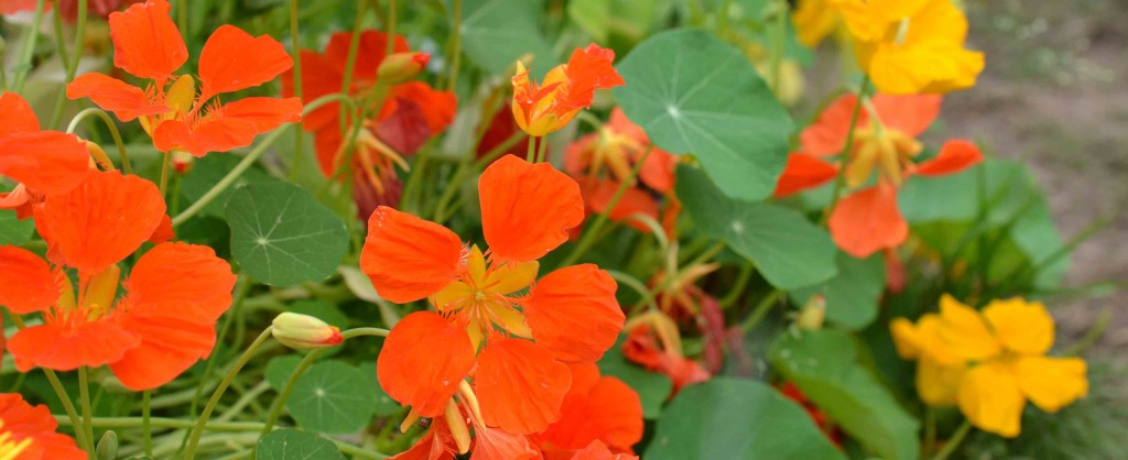 5 Uses for Nasturtiums & A Simple Cookie Recipe