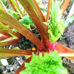 Rhubarb…. growing, caring for and eating