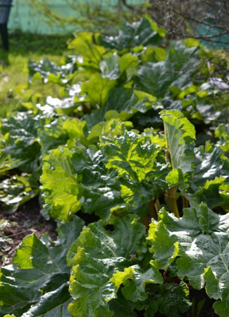 Rhubarb Patch