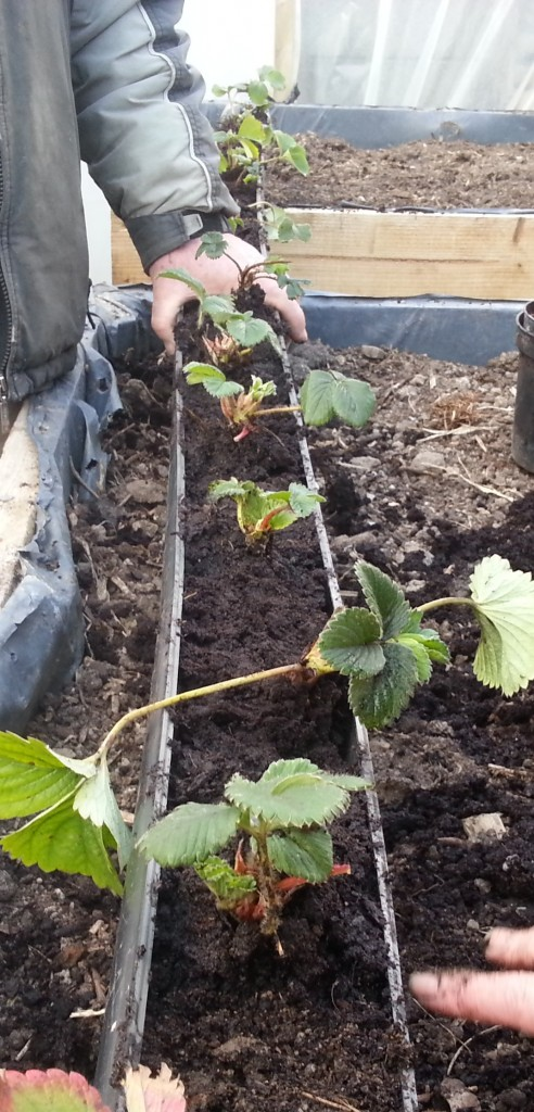 strawberries at Goresbridge community garden