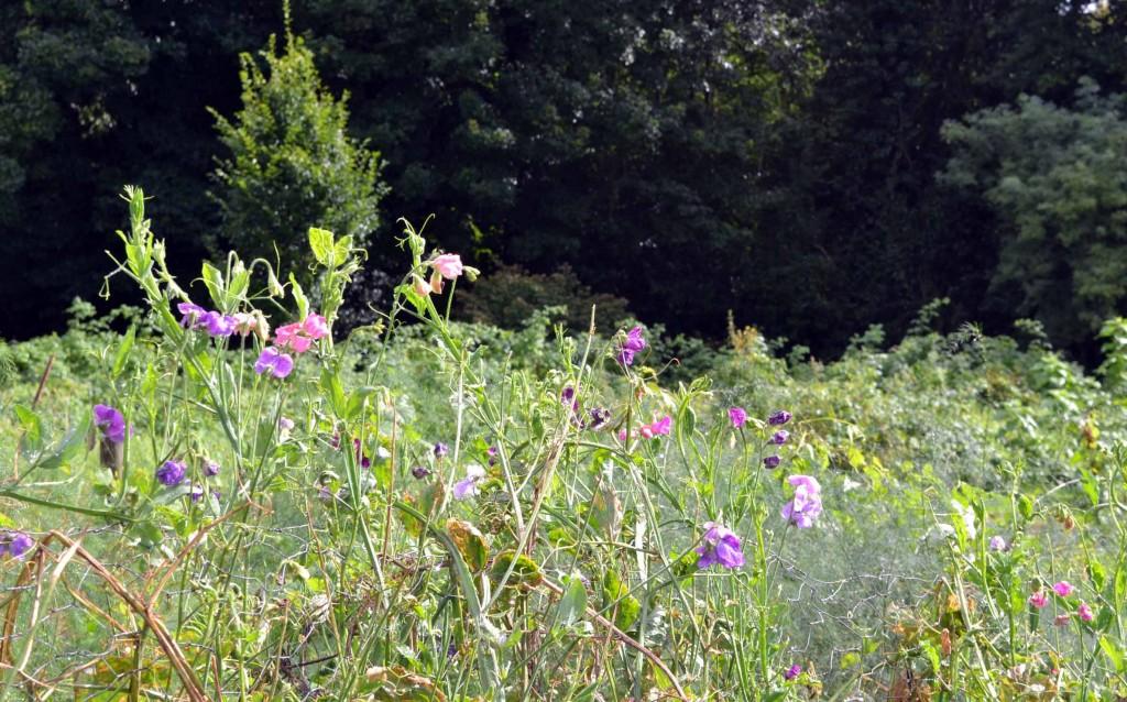 sweet pea meadow