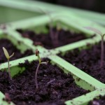 Sunday Snap: Tiny Tomato Seedlings