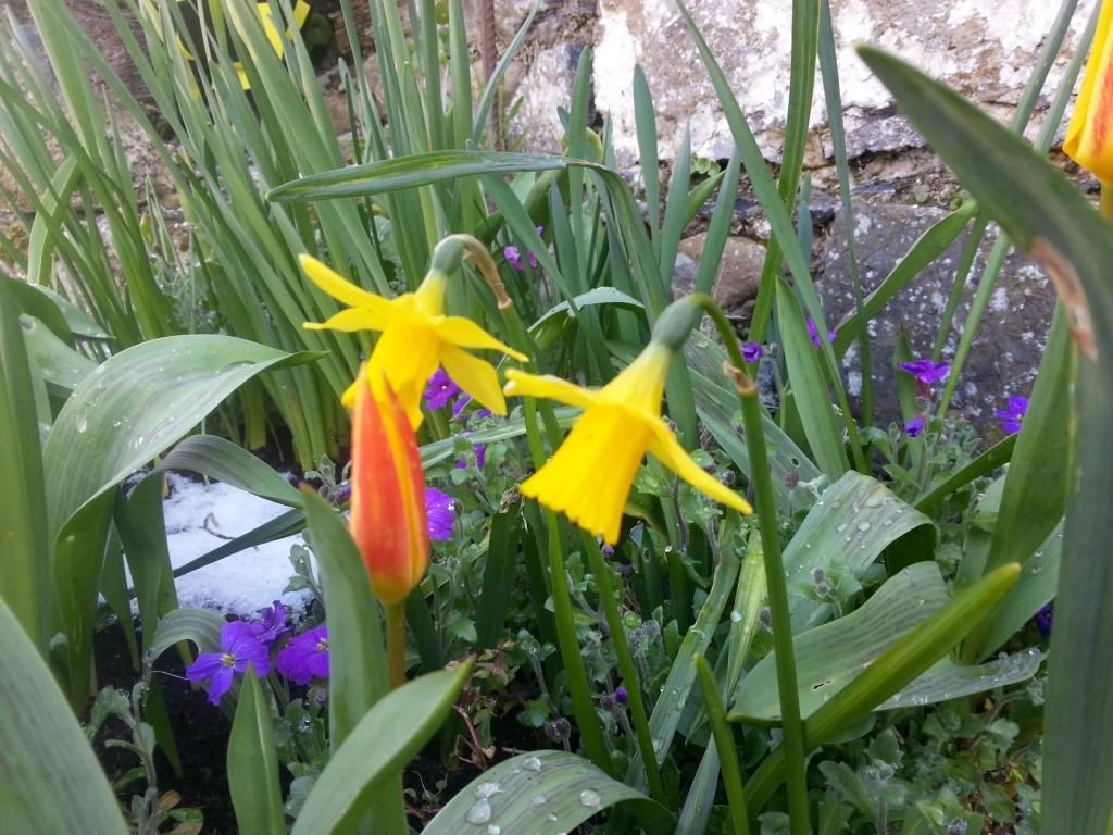 spring flowers in the community garden