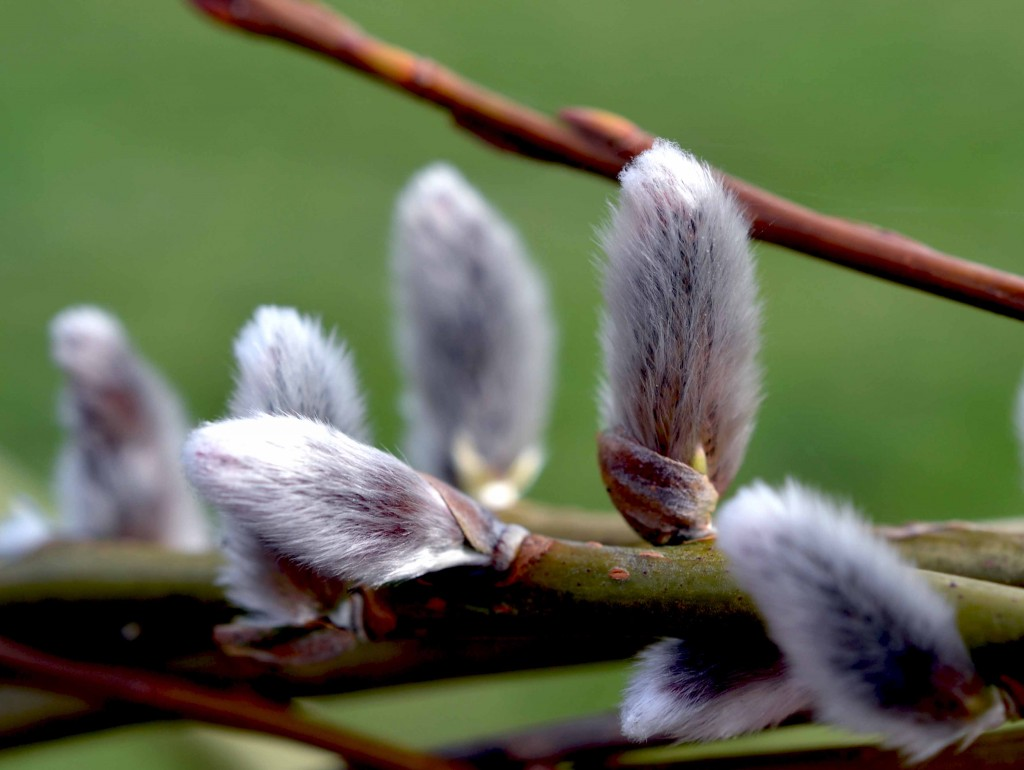 Pussy Willow Catkins on the Salix