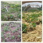 The Strawberry Patch - before, during and after